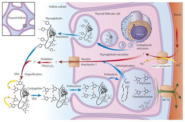 3 Physiology Of The Thyroid Gland Ento Key