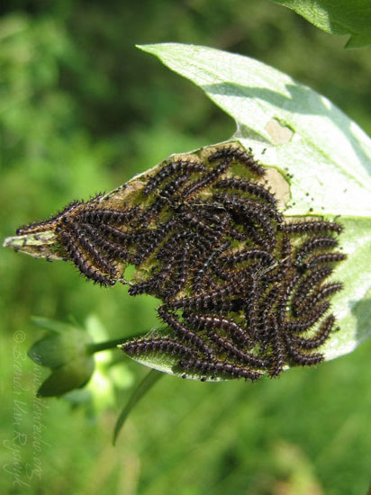 Silvery Checkerspot  Sunflowers  Crop Pests  Insect