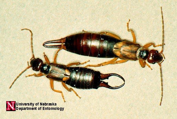 Earwigs  Department of Entomology