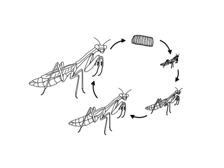 Life Cycle Of A Praying Mantis