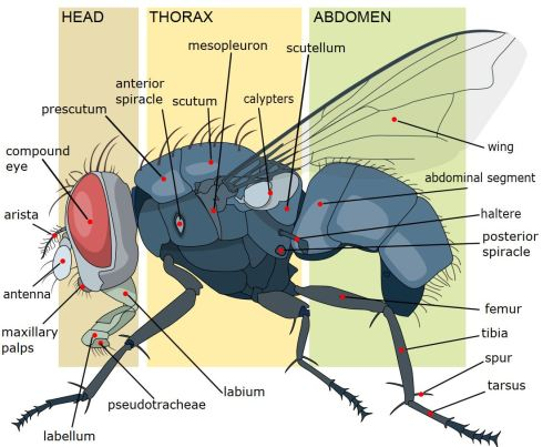 small resolution of house fly anatomy