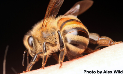 How Do Honey Bees Curl Their Abdomens?