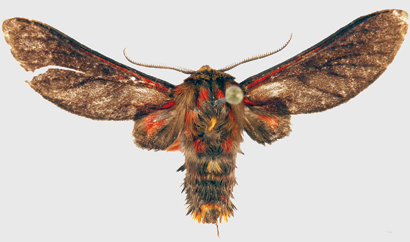 New Tiger Moth Genus and Species Discovered in Africa