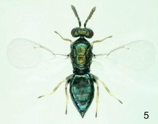 Baryscapus dioryctriae