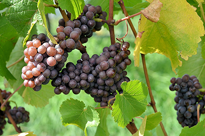 The Mechanism Matters: How Leaf Removal Kills a Common Grape Pest