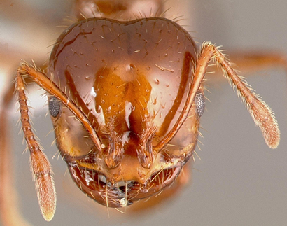 Study Finds Sweeteners Lead Fire Ants to a Bitter End
