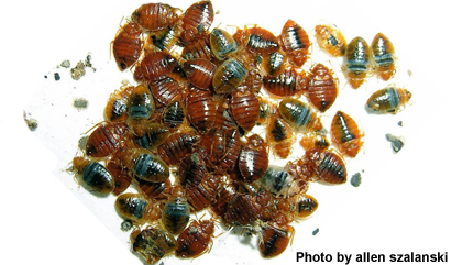 Scientists Identify Pheromone for Bed Bug Traps