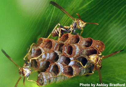 Bộ sưu tập côn trùng 2 - Page 14 Mischocyttarus-mexicanus