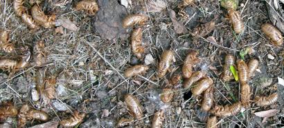Periodical Cicadas in Iowa, Summer of 2014