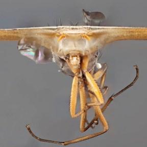 Stalk-eyed fly.