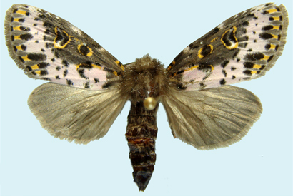 A Spanish moth (Xanthopastis timais).