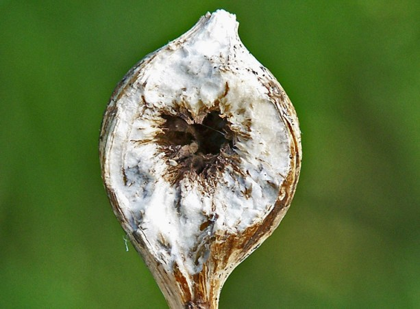 The insect larva grows inside this goldenrod ball gall. In this species, the larva has mouthparts that can chew through the gall, but the adult doesn't, so the larva has to chew its exit tunnel before it pupates or it cannot get out, according to environmental educator, writer and photographer Kate Redmond of Wisconsin. Photo by Kate Redmond.