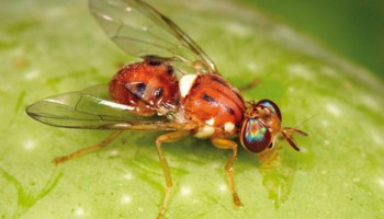 International Researchers Find Major Fruit Fly Pests to be the Same