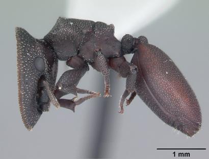 Cephalotes varians