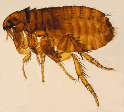 Female Ctenocephalides felis
