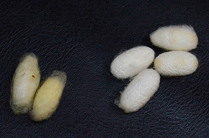 yellow and white silkworm cocoons