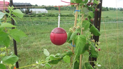attractacidal sphere in raspberry plant