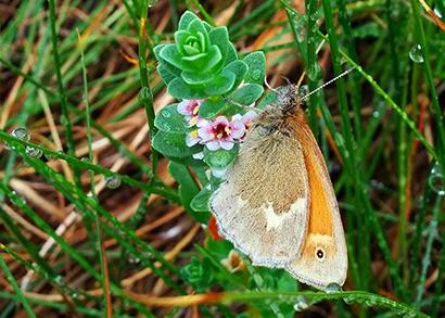 Coenonympha nipisiquit