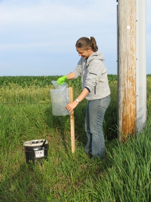 checking the stable fly trap
