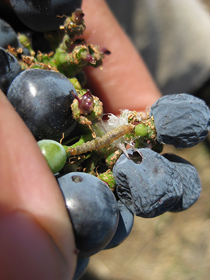 European grapevine moth damage