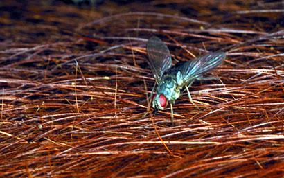 horn fly