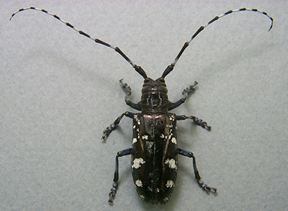 Well-Fed, Older Asian Longhorned Beetles Fly Farther, May