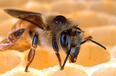 honey bee with varroa mite