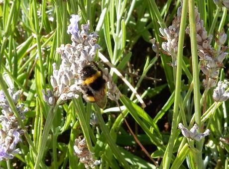 Bee in field
