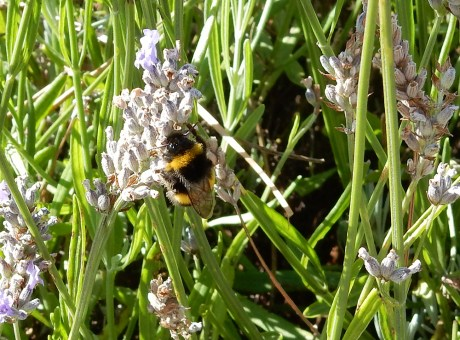 Bee in field