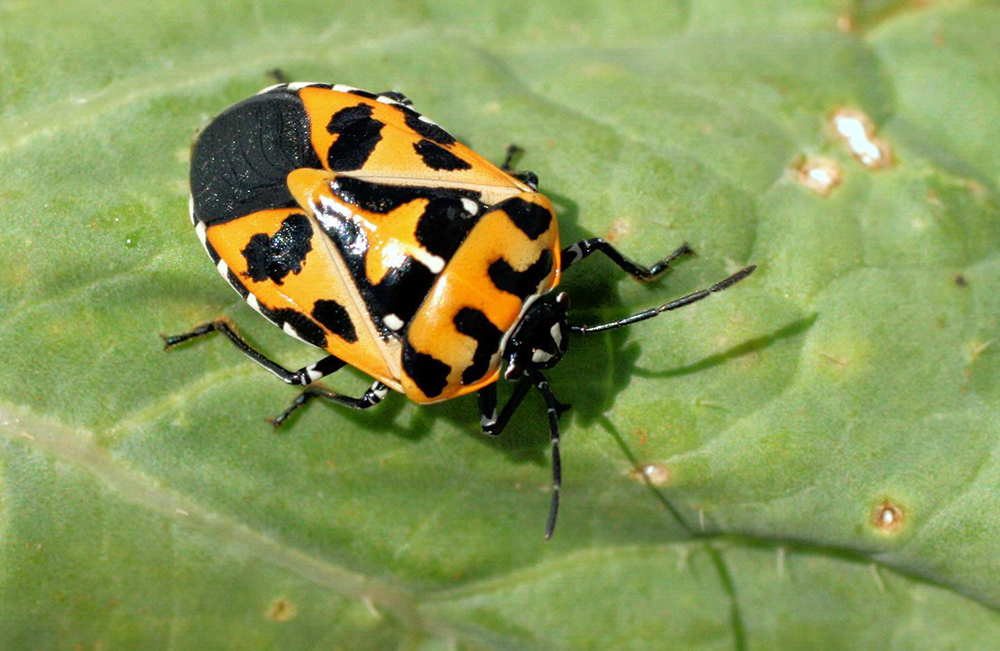 do you know the harlequin bug s favorite color