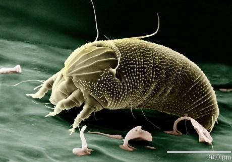 Aceria anthocoptes