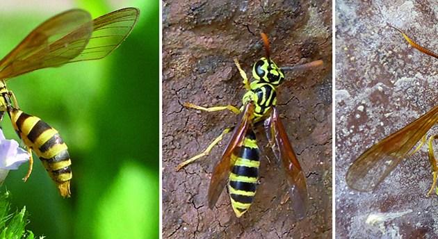 wasp and moth mimics