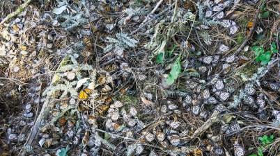 Monarch butterflies killed in winter storm
