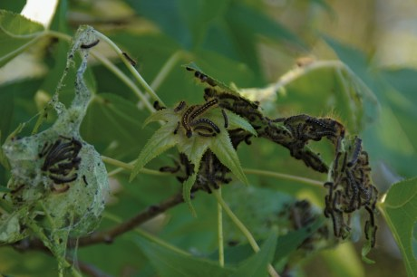 forest tent caterpillars on foliage