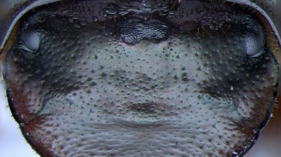 beetle ectopic eye