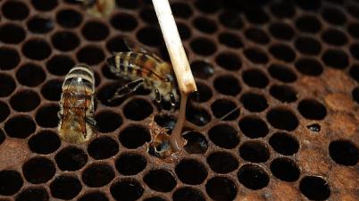 foulbrood bee larva