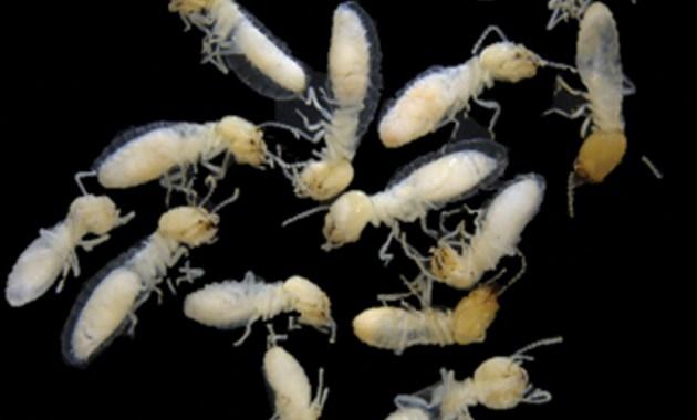 premolt termites