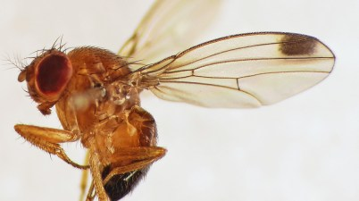 spotted-wing drosophila closeup