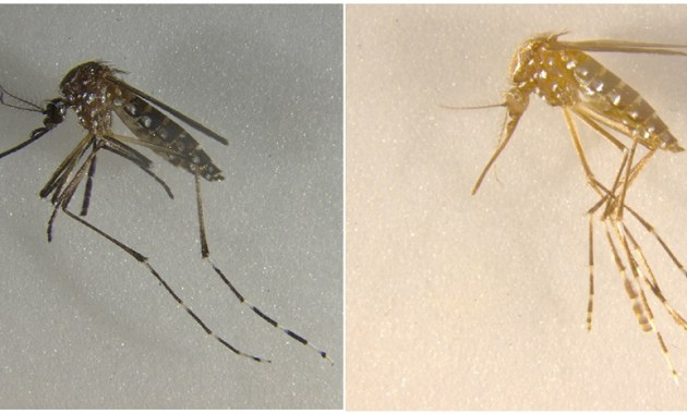 mosquitoes cuticle-color genes disrupted