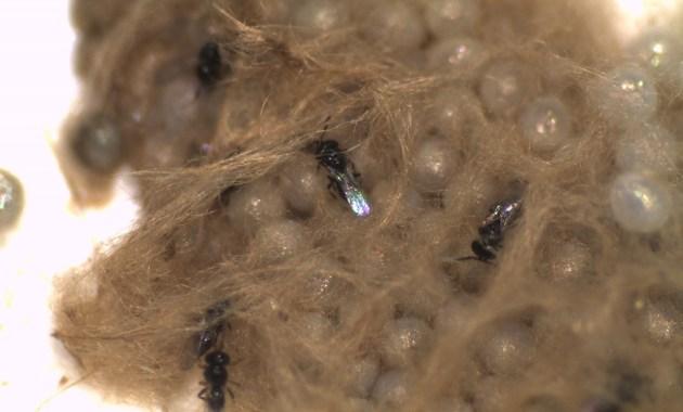 Telenomus remus on Spodoptera frugiperda eggs