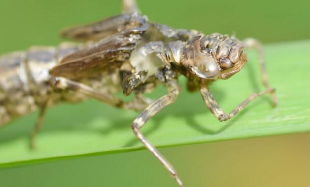 dragonfly cast skin