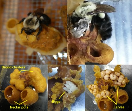Bombus impatiens queens and nests