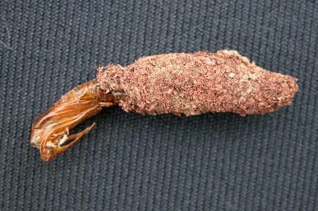 grape root borer pupal case