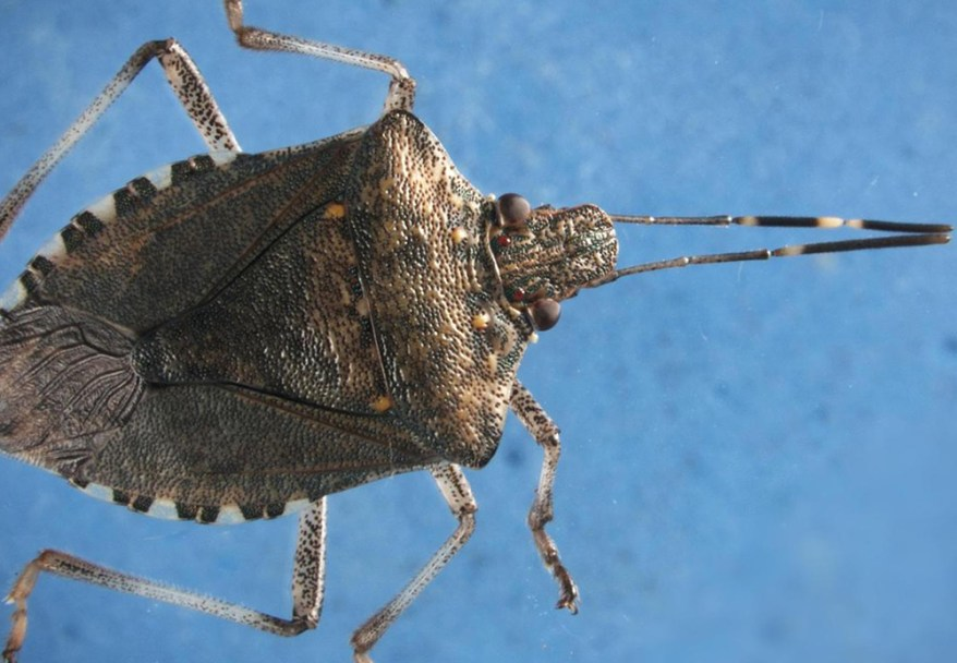 brown marmorated stink bug closeup