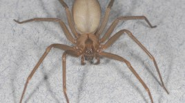 brown recluse Loxosceles reclusa