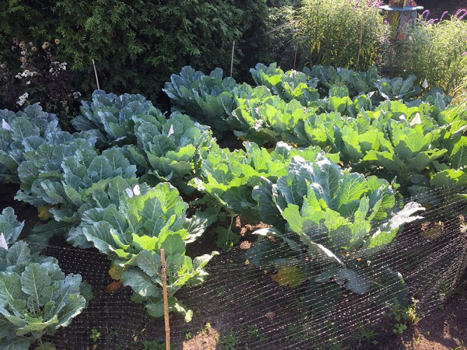 collard plants in imported cabbageworm experiment