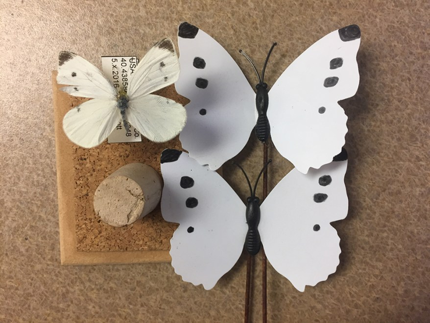 imported cabbageworm butterfly and mimics
