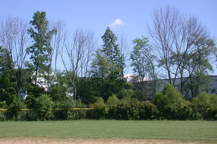 ash crown thinning and dieback