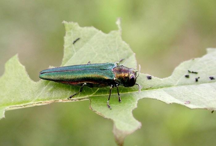 emerald ash borer on leaf