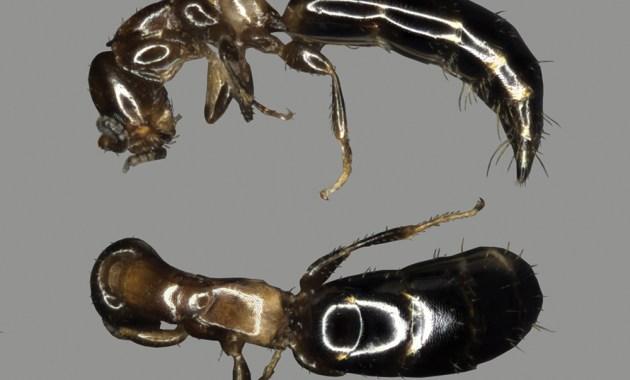 Sclerodermus macrogaster